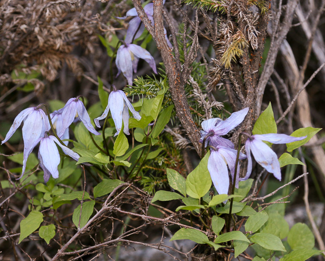 image of Clematis occidentalis var. occidentalis, Mountain Clematis, Purple Clematis