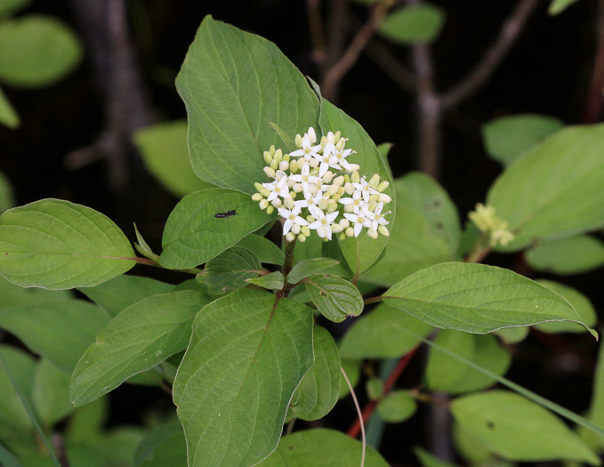 image of Cornus stolonifera, Red Osier Dogwood, Bailey's Dogwood