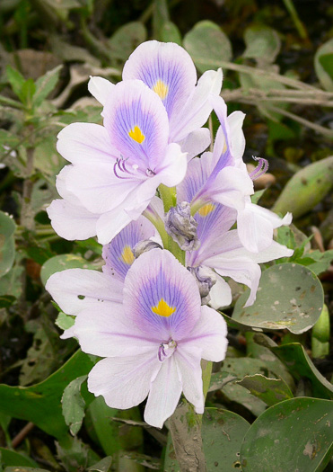 image of Eichhornia crassipes, Water Hyacinth