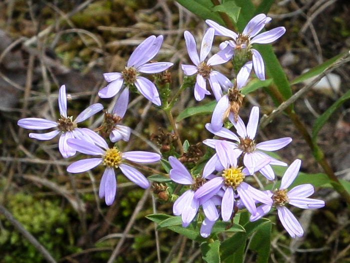 flower of Eurybia compacta, Slender Aster