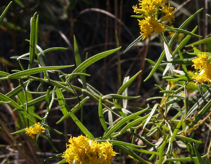image of Euthamia hirtipes, Marsh Flat-topped Goldenrod