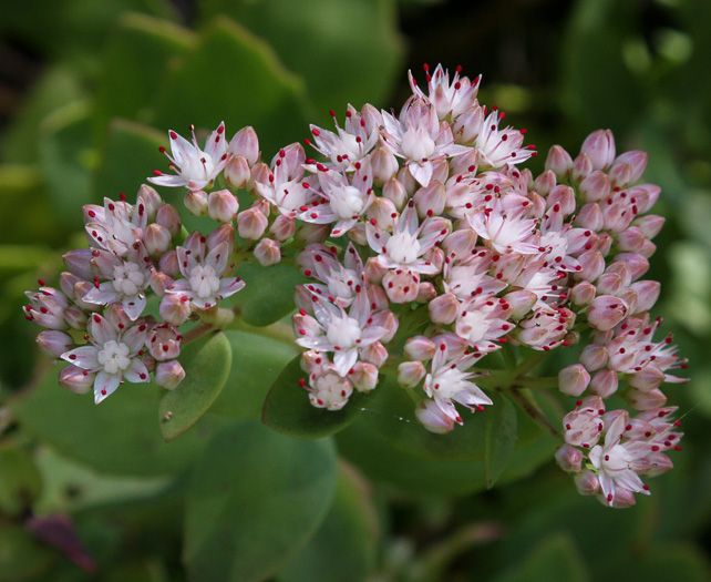 flower of Hylotelephium telephioides, Allegheny Live-forever, Cliff Orpine, Allegheny Stonecrop