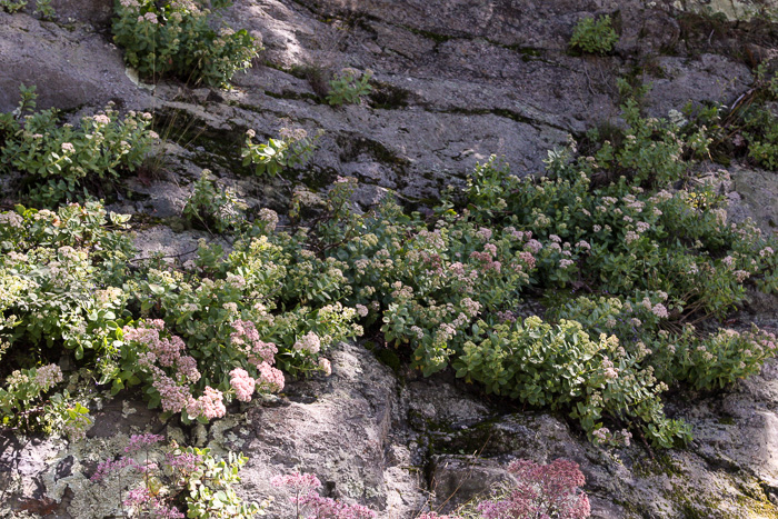 image of Hylotelephium telephioides, Allegheny Live-forever, Cliff Orpine, Allegheny Stonecrop
