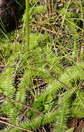 image of Lycopodiella prostrata, Featherstem Clubmoss, Prostrate Bog Clubmoss