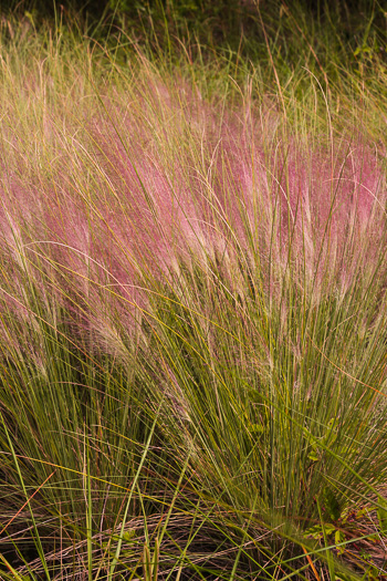 image of Muhlenbergia sericea, Dune Hairgrass, Sweetgrass