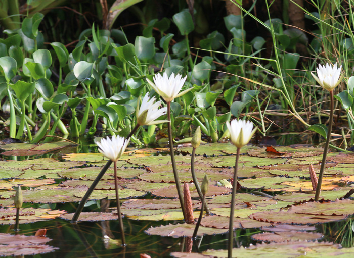 Nymphaea elegans, Tropical Blue Water-lily