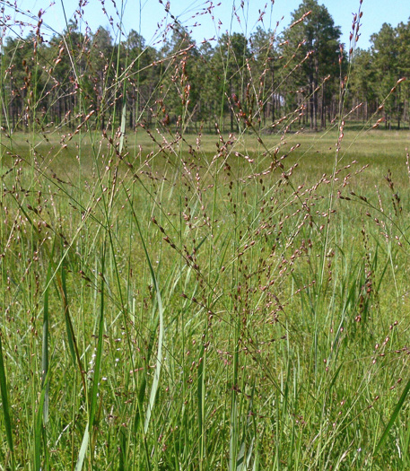 image of Panicum virgatum var. cubense, Savanna Panic-grass, Coastal Plain Switchgrass, Blunt Panic Grass