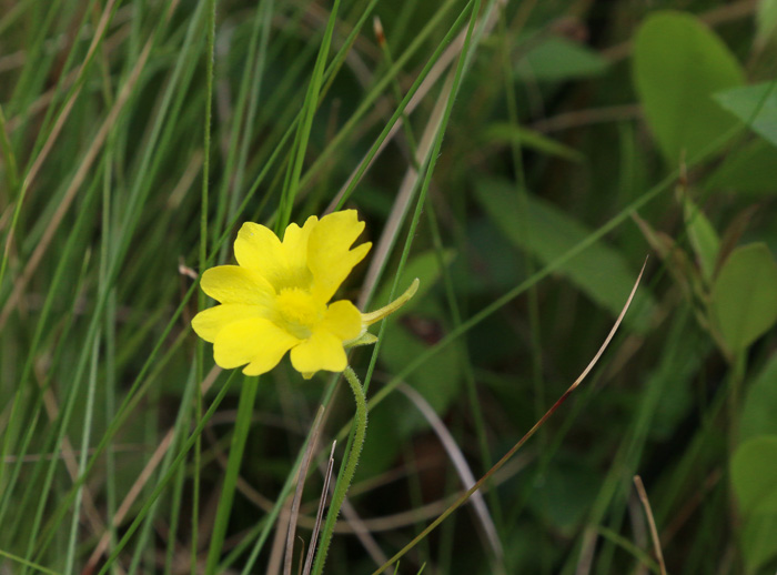 flower of Pinguicula lutea, Yellow Butterwort