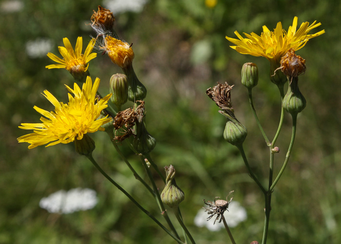 flower of Sonchus arvensis var. glabrescens, Field Sow-thistle, Perennial Sow-thistle
