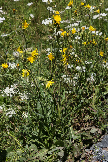 image of Sonchus arvensis var. glabrescens, Field Sow-thistle, Perennial Sow-thistle