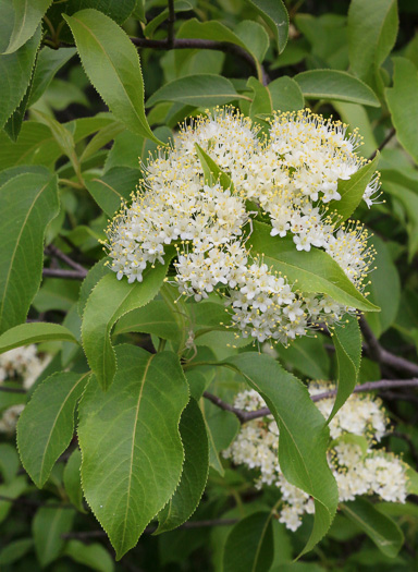 flower of Viburnum lentago, Nannyberry, Sheepberry
