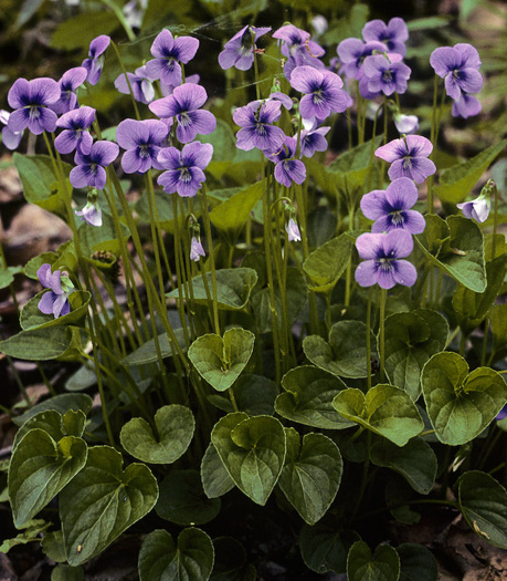 flower of Viola cucullata, Blue Marsh Violet, Bog Violet