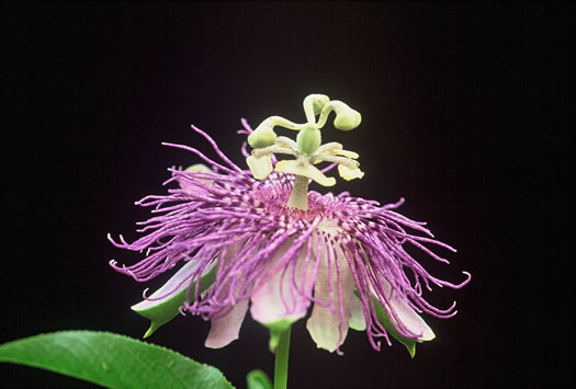 image of Passiflora incarnata, Passionflower, Maypop