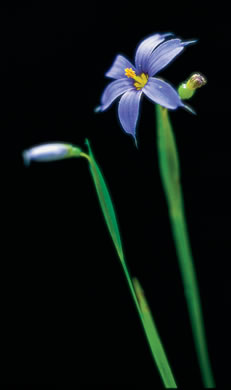 flower of Sisyrinchium angustifolium, Blue-eyed Grass, Stout Blue-eyed Grass