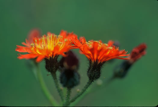 image of Pilosella aurantiaca, Orange Hawkweed, Devil's Paintbrush, Orange King-devil