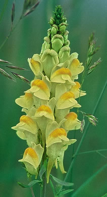 flower of Linaria vulgaris, Butter-and-eggs, Yellow Toadflax, Wild-snapdragon