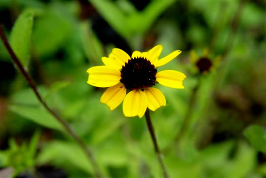 image of Rudbeckia triloba var. triloba, Common Three-lobed Coneflower, Brown-eyed Susan, Thin-Leaved Coneflower