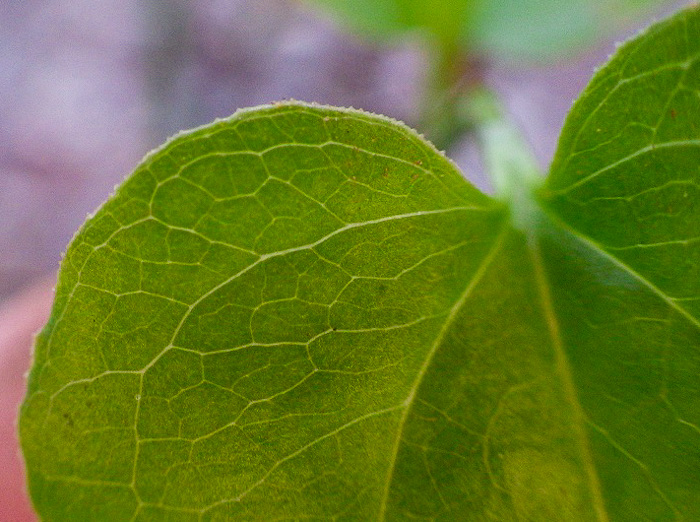 image of Smilax hispida, Bristly Greenbrier, Hellfetter, Chinaroot