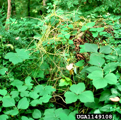 image of Cuscuta japonica, Japanese Dodder