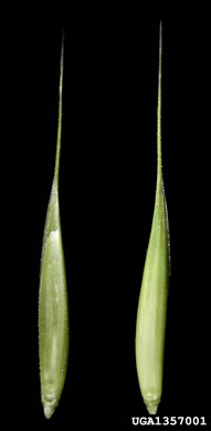 image of Elymus repens, Quackgrass, Dog-grass, Witchgrass