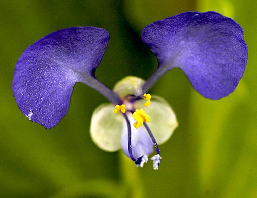 flower of Commelina benghalensis, Tropical Spiderwort, Benghal Dayflower