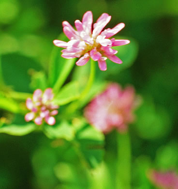flower of Trifolium resupinatum, Persian Clover, Reversed Clover