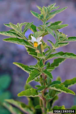 flower of Solanum pseudocapsicum, Jerusalem Cherry