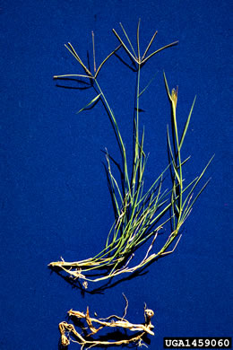 rhizome: Cynodon dactylon, Bermuda Grass, Scotch Grass