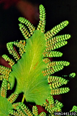 image of Lygodium microphyllum, Old World Climbing Fern, Small-leaf Climbing Fern