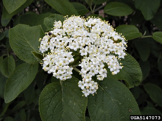 flower of Viburnum lantana, Wayfaring Tree