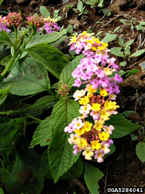 image of Lantana camara, Common Lantana, Hedgeflower