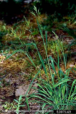 image of Bromus catharticus var. catharticus