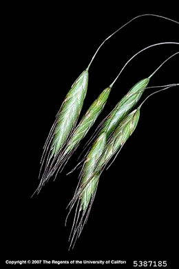 flower of Bromus arvensis, Field Brome