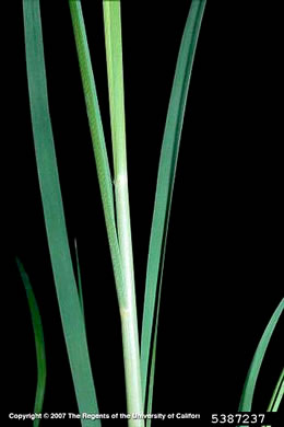 image of Cortaderia selloana, Pampas Grass