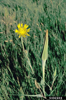 image of Tragopogon dubius, Vegetable Oyster, Yellow Salsify, Western Salsify, Yellow Goatsbeard