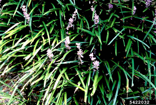 image of Liriope muscari, Liriope, Big Blue Lilyturf