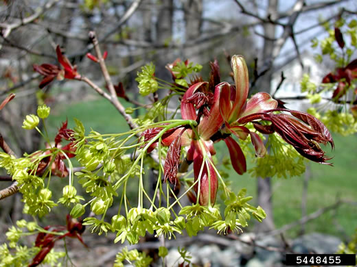 flower of Acer platanoides, Norway Maple
