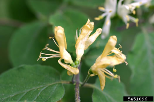 flower of Lonicera xylosteum, European Fly-honeysuckle, Dwarf Honeysuckle