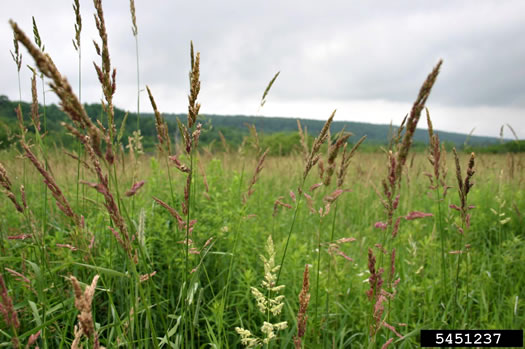 image of Phalaris arundinacea, Reed Canarygrass, Ribbongrass