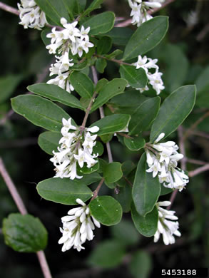flower of Ligustrum obtusifolium var. obtusifolium, Border Privet