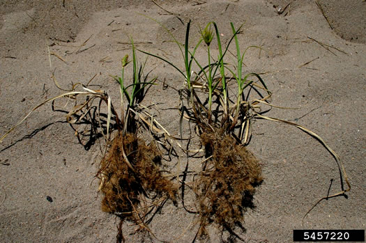 rhizome: Carex kobomugi, Japanese Sand Sedge, Japanese Sedge, Sea Isle Sedge, Asiatic Sand Sedge