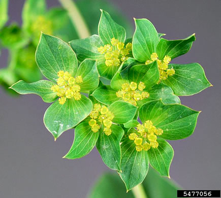 flower of Bupleurum rotundifolium, Hound's-ear, Hare's-ear, Roundleaf Thoroughwax