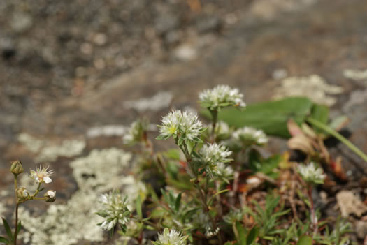 image of Paronychia argyrocoma, Silverling, Silver Whitlow-wort