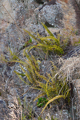 image of Astrolepis sinuata ssp. sinuata, Wavy Cloak Fern, Wavy Scaly Cloak Fern