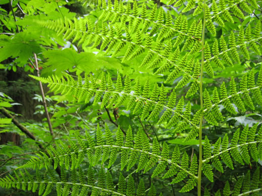 sessile: Athyrium angustum, Northern Lady Fern