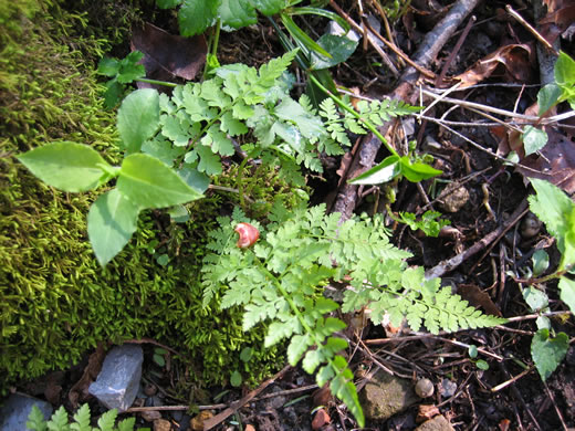 rhizome: Cystopteris protrusa, Lowland Bladder Fern, Spreading Bladder Fern