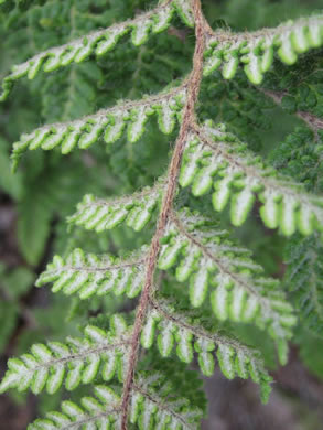 image of Myriopteris tomentosa, Woolly Lipfern