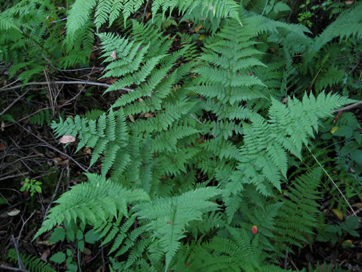 rhizome: Dryopteris carthusiana, Spinulose Wood-fern, Toothed Wood-fern
