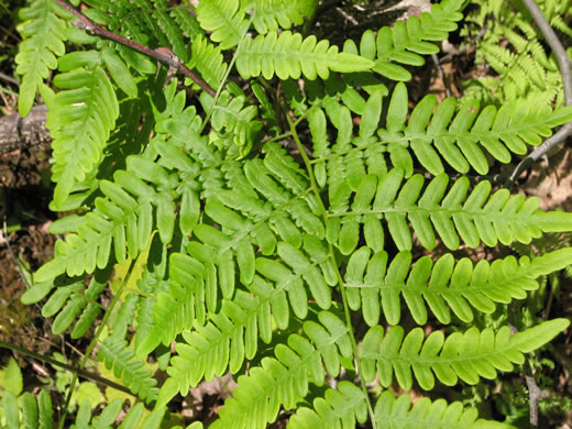 image of Pteridium latiusculum +, Bracken, Brake