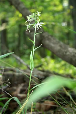 image of Platanthera lacera, Green Fringed Orchid, Ragged Fringed Orchid, Ragged Orchid
